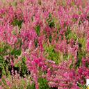 calluna_vulgaris_ross.hutton