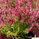 calluna_vulgaris_ross.hutton,