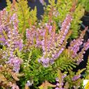 calluna_vulgaris_gold.knight.